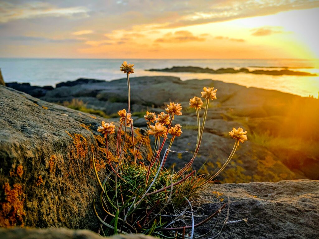 flowers at sunset, on the rocks near the Old Akranes Light house in Akranes Iceland.